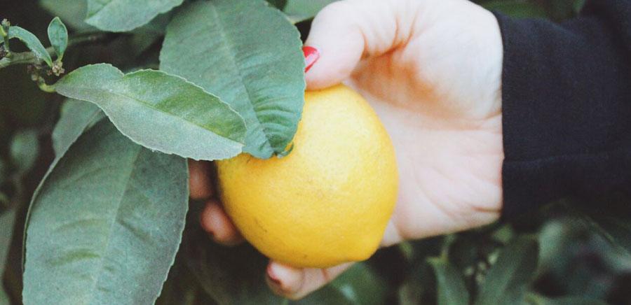 lemon diy picking