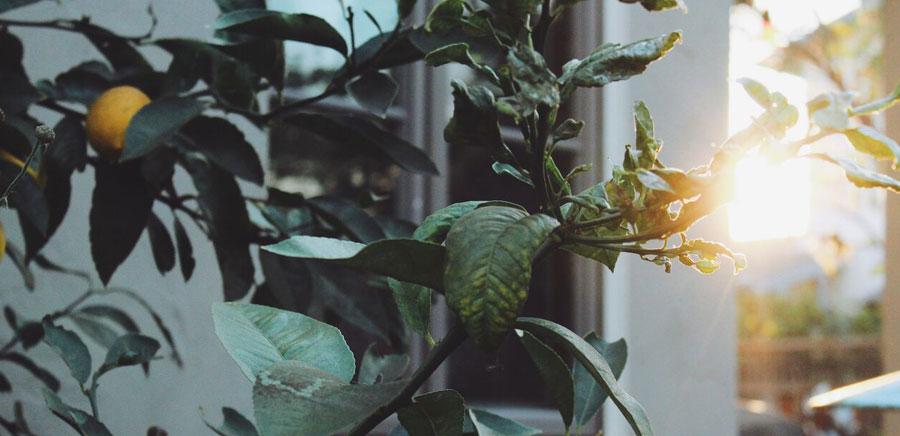 lemon diy tree sunset